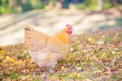 A galinha amarela do orpington que forrageia na queda sae Fotografia de Stock