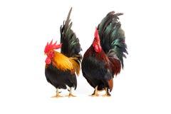 Galinha anã, galinha anã da galinha isolada no branco Fotografia de Stock Royalty Free