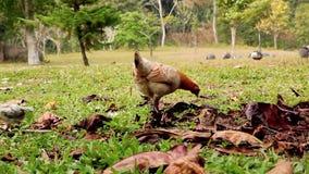 Galinha ar livre em uma exploração avícola tradicional filme