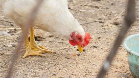 A galinha branca come o alimento filme