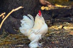 Galinha branca - galinha anã carreg Imagem de Stock