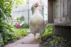 Galinha branca que anda abaixo do caminho cercado no ajuste do jardim Fotos de Stock