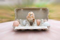 Galinha com os ovos na caixa de ovo Foto de Stock