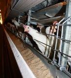 Galinha curiosa na exploração avícola Foto de Stock Royalty Free