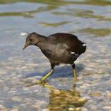galinha-d'água Fotos de Stock