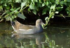 A galinha-d'água comum juvenil na lagoa Imagens de Stock