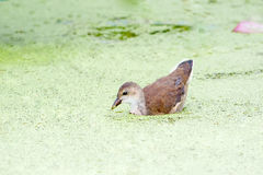 Galinha-d'água comum na lagoa de lótus imagem de stock