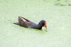 Galinha-d'água comum na lagoa de lótus foto de stock royalty free