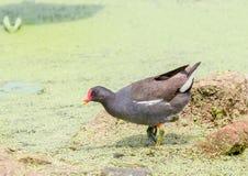 Galinha-d'água comum na lagoa de lótus imagem de stock royalty free