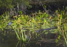 A galinha-d'água comum olha o jacaré fotos de stock