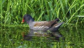 Galinha-d'água ou galinha comum do pântano, chloropus do gallinula Fotografia de Stock