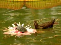 Galinha-d'água Wang Lianchi da tartaruga de Lotus, agora rei fotos de stock