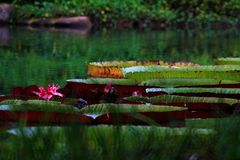 Galinha-d'água Wang Lianchi da tartaruga de Lotus, agora rei foto de stock royalty free