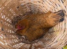 Galinha da galinha do ovo no ninho de madeira de bambu Imagens de Stock Royalty Free