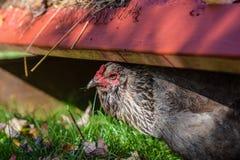 Galinha de Ameraucana, igualmente conhecida como a galinha do ovo da páscoa Fotografia de Stock