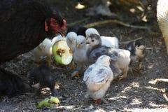 A galinha de Brahma mostra a seus pintainhos uma maçã Fotografia de Stock Royalty Free