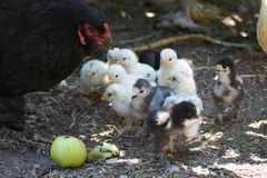 A galinha de Brahma mostra a seus pintainhos uma maçã Fotos de Stock Royalty Free