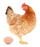 Galinha de Brown com ovo Fotos de Stock