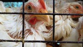 Galinha de grelha branca na gaiola no açougue que olha curiosamente na câmera fotos de stock