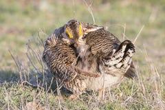 Galinha de pradaria fêmea Foto de Stock Royalty Free