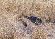 Galinha de turquia selvagem com um pintainho Imagem de Stock Royalty Free