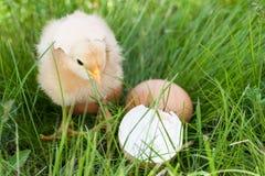 Galinha do bebê com casca de ovo quebrada e ovo na grama verde Fotografia de Stock