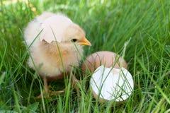 Galinha do bebê com casca de ovo quebrada e ovo na grama verde Foto de Stock