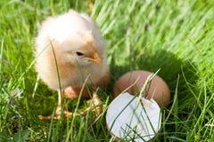 Galinha do bebê com casca de ovo quebrada e ovo na grama verde Fotos de Stock