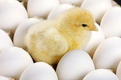 Galinha do bebê e ovos brancos Fotos de Stock Royalty Free