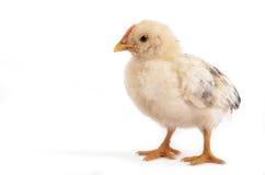 Pássaro do pintainho no estúdio fotos de stock royalty free
