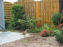 Galinha do faisão no jardim do quintal imagens de stock royalty free