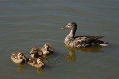 Galinha do pato do pato selvagem da mãe com patinhos Imagens de Stock Royalty Free