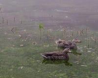 Galinha do pato selvagem que arma suas cabeças, Imagens de Stock
