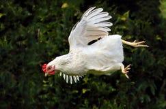 Galinha do voo - galinha imagens de stock