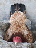 Galinha doméstica de Brown, galinha fêmea ou Hen Incubating Her Own Eggs imagem de stock