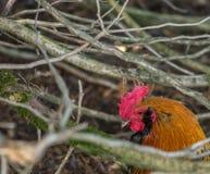 Galinha doméstica no jardim zoológico de St-Edouard imagem de stock royalty free