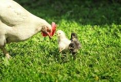 Galinha e caminhada pequena das galinhas, a amarela, a preta e a vermelha na grama verde luxúria na jarda de exploração agrícola  fotos de stock