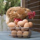 Galinha e cesta dos ovos Foto de Stock