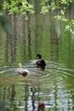 Galinha e Drake do pato selvagem Imagem de Stock Royalty Free