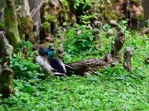 Galinha e Drake do pato selvagem Imagens de Stock Royalty Free