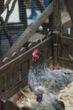 Galinha e galo no aviário, um jardim zoológico, um símbolo de 2017, Foto de Stock