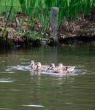 Galinha e jovens do pato selvagem Imagem de Stock