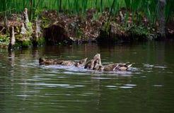 Galinha e jovens do pato selvagem Fotos de Stock