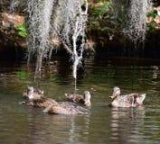 Galinha e jovens do pato selvagem Fotos de Stock Royalty Free