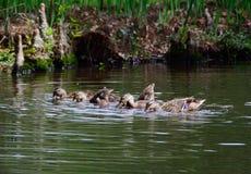Galinha e jovens do pato selvagem Foto de Stock Royalty Free