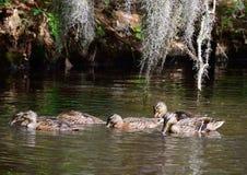 Galinha e jovens do pato selvagem Imagens de Stock