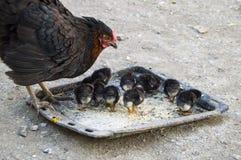 A galinha e os pintainhos minúsculos, animais reprodutores pretos e filhotes de cachorro pretos, pintainhos minúsculos alimentara Fotografia de Stock Royalty Free