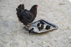 A galinha e os pintainhos minúsculos, animais reprodutores pretos e filhotes de cachorro pretos, pintainhos minúsculos alimentara Foto de Stock Royalty Free