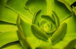 A galinha e os pintainhos ou a roseta ou a pedra Lotus ou a planta carnuda plantam clo Fotos de Stock