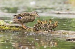 Galinha e patinhos do pato selvagem Imagem de Stock